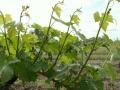 Vignes pendant l'été