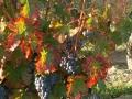 A l'automne, les vendanges